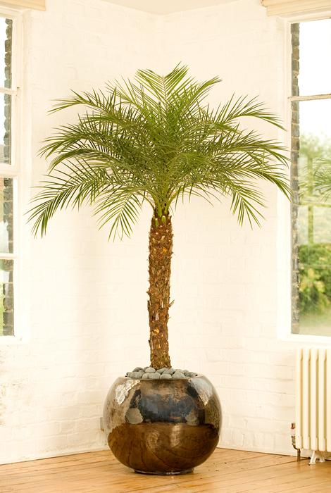 В какой горшок сажать финиковую пальму 55